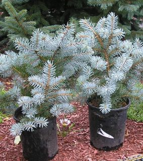 12 15  INCH WEEPING COLORADO BLUE SPRUCE))) 3 RD YEAR GRAFT EVERGREEN