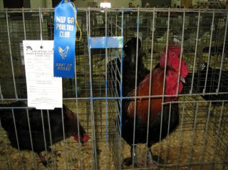 Exhibition Line French Black (blue) Copper Maran Hatching Eggs for